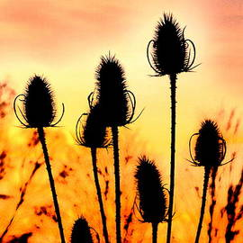 The Creative Minds Art and Photography - Common Teasle Sunset Silhouettes
