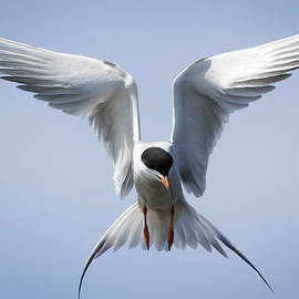 Ricky L Jones - Common Tern