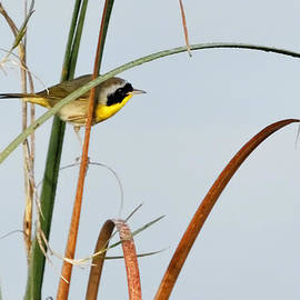 Dawn Currie - Common Yellowthroat