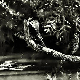 Leif Sohlman - Comorant August 22 2013 B/W - Two cormorant draying on a brach