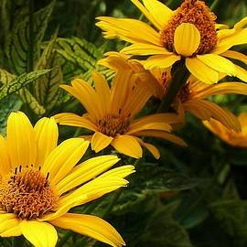 Bruce Bley - Coreopsis Grouping