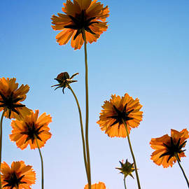 Mary Lee Dereske - Coreopsis In the Sky