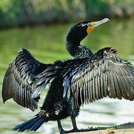 Bob and Nadine Johnston - Cormorant Drying Wings