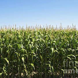 Elaine Mikkelstrup - Corn Harvest