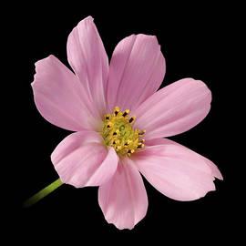 Danny Smythe - Cosmos Flower