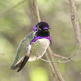 Peri Ann Taylor - Costas Hummingbird