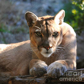 DiDi Higginbotham - Cougar II