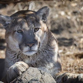 Dianne Phelps - Cougar in Winter