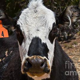 Ashley M Conger  - Cow 4