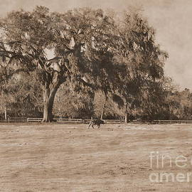 Wayne Nielsen - Cow by Live Oak Tree Traverses Pasture