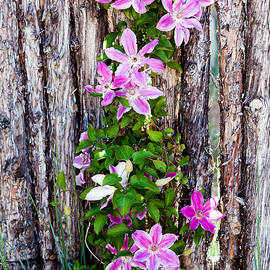 Roselynne Broussard - Coyote Fence With Flowers