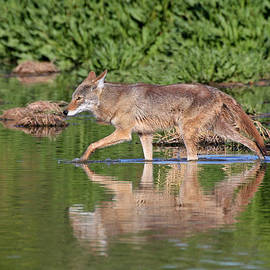 Ruth Jolly - Coyote looking for breakfast