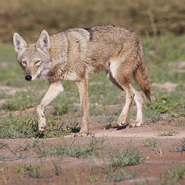 Ruth Jolly - Coyote out for a walk
