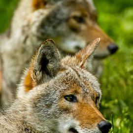 World Wildlife Photography - Coyote Pictures 181