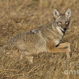 Bryan Keil - Coyote running