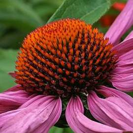 Bruce Bley - CPurple Cone Flower