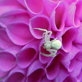 Cheryl Hoyle - Crab Spider and Dahlia