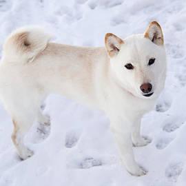 Amy Jackson - Cream Shiba in the Snow