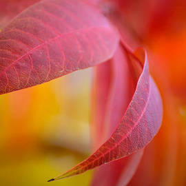 Deb Halloran - Crimson Leaves