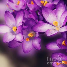 Gosia K - Crocus Blossom
