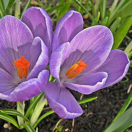 Brian Chase - Crocus Delight