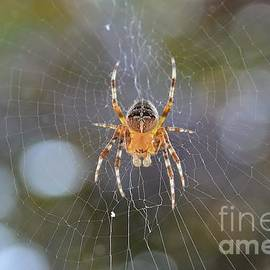 Anne Clark - Cross Orbweaver Spider
