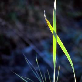 Eva Kato - Dancing Reeds