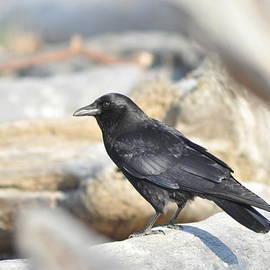 Bryan Hanson - Crow