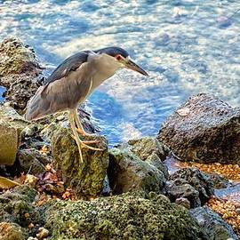David Bell - Crowned Harbor Heron