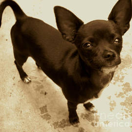 Shawn Brandon - Cupcake the Chihuahua
