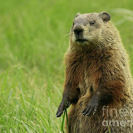 Inspired Nature Photography By Shelley Myke - Curiosity of a Ground Hog