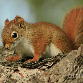 Inspired Nature Photography By Shelley Myke - Curious by Nature Red Squirrel