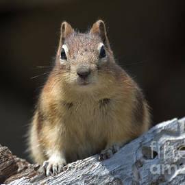 Chris Scroggins - Curious Chipmunk