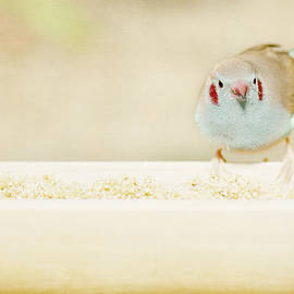 Lisa Knechtel - Curious Cordon Bleu Finch