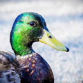 Courtney DeGregorio - Curious Duck 2