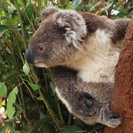 Richard Booth - Curious Koala