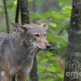 DejaVu Designs - Curious Wolf