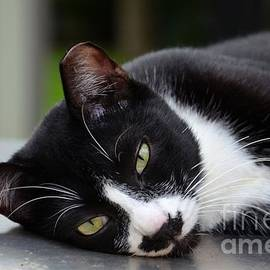 Imran Ahmed - Cute black and white tuxedo cat with nipped ear rests