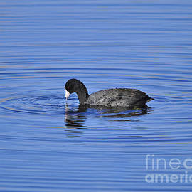 Al Powell Photography USA - Cute Coot