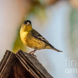 Robert Bales - Cute Finch