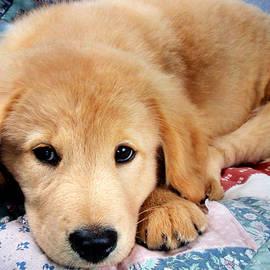 Christina Rollo - Cute Golden Retriever Puppy