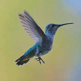 Carol Groenen - Cutie Hummingbird