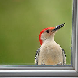Karol  Livote - CW my Crazy Woodpecker