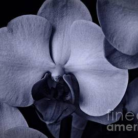 Chalet Roome-Rigdon - Cyan Phalaenopsis 1
