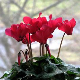 Angela Davies - Cyclamen On The Windowsill