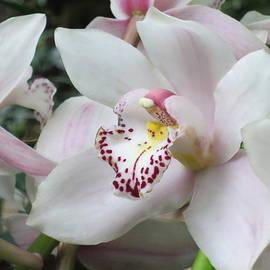 Lena Kouneva - Cymbidium Hybrid Orchid - 2