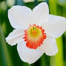 Cynthia Guinn - Daffodil