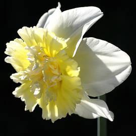 Joy Watson - Daffodil Delight