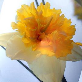 Kim Pate - Daffodil Double Bubble