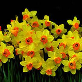 Peter Lessey - Daffodil Panoramic